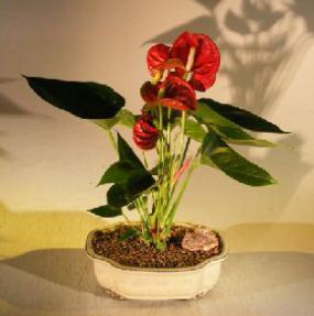 Flowering Red Anthurium (