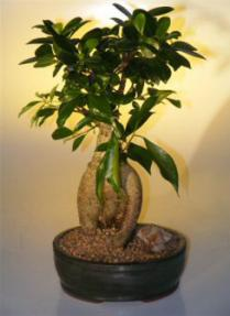 Ginseng Ficus Bonsai Tree - Large<br><i>(Ficus Retusa)</i>