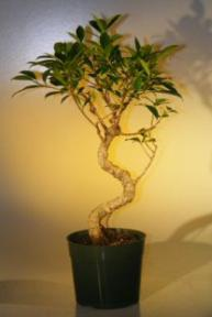 Pre Bonsai Ficus Retusa Bonsai - Large<br>Curved Trunk Style