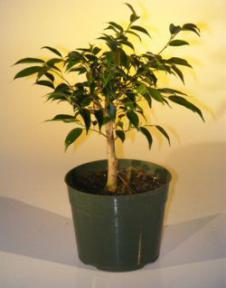 Pre Bonsai Ficus Midnight Bonsai Tree - Large<br><i>(benjamina 'midnight')</i>