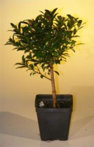 Pre Bonsai Flowering Brush Cherry Bonsai Tree - Small<br><i>(eugenia myrtifolia)</i>