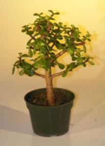 Pre Bonsai Baby Jade Bonsai Tree  - Medium<br><i>(Portulacaria Afra)</i>