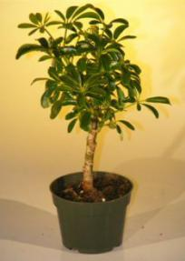 Pre Bonsai Hawaiian Umbrella Bonsai Tree - Small<br><i>(arboricola schefflera 'luseanne')</i>