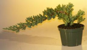 Pre Bonsai Juniper Bonsai Tree-Small<br><i>(Juniper Procumbens