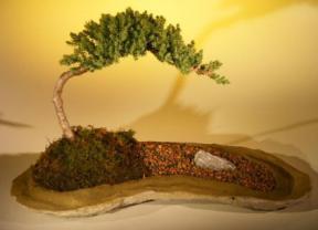 Juniper Bonsai Tree<br>Planted on a Rock Slab<br><i>(juniper procumbens
