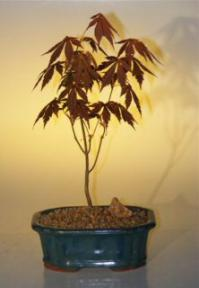 Japanese Red Maple Bonsai Tree - Small<br><i>(acer palmatum 'atropurpureum')</i>