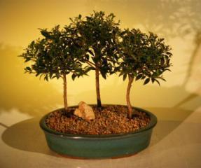 Flowering Brush Cherry Bonsai Tree<br>Three (3) Tree Forest Group<br><i>(eugenia myrtifolia)</i>