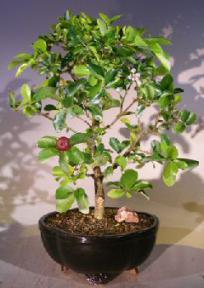 Flowering Dwarf Weeping Barbados Cherry Bonsai Tree - Large<br><i>(malpighia Pendiculata)</i>