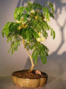 Flowering Brazilian Raintree Bonsai Tree - Medium <br><i>(pithecellobium tortum)</i>