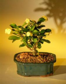 Flowering Crown of Thorns Bonsai Tree - Yellow<br><i>(euphorbia milii)</i>