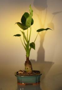 Buddha's Ear<br><i> (alocacia cuculata)</i>