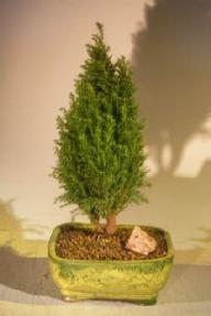European Cypress Evergreen Bonsai Tree <br><i>(chamaecypari Iawsoniana 'ellwoodii')</i>