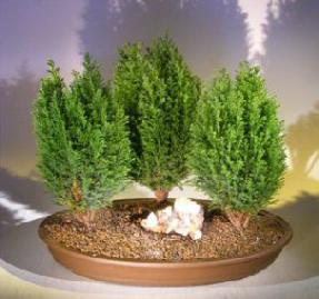 Italian Cypress Evergreen Bonsai Tree <br>Three Tree Forest Group <br><i>(cupressus sempervirens)</i>