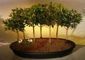 Flowering Brush Cherry Bonsai Tree<br>Seven Tree Forest Group<br><i>(eugenia myrtifolia)</i>
