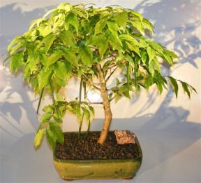 Flowering Water Jasmine Bonsai Tree - Large <br><i>(wrightia religiosa)</i>