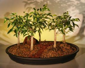 Oriental Ficus  Bonsai Tree<br>Five (5) Tree Forest Group <br><i>(benjamina 'orientalis')</i>