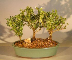 Flowering Mount Fuji Serissa Bonsai Tree <br>Three Tree Forest Group <br><i>(serissa foetida)</i>