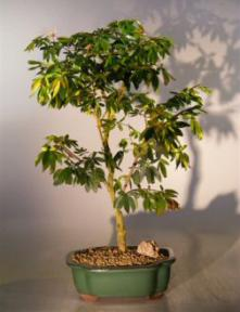 Flowering Dwarf Red Powderpuff Bonsai Tree <br><i>(calliandra schultzei 'rose cascade')</i>