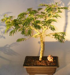 Flowering Princess Earrings Bonsai Tree - Large<br><i>(dichrostachys cinerea)</i>