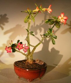 Flowering Desert Rose Bonsai Tree <br><i>(Adenium Obesum)</i>