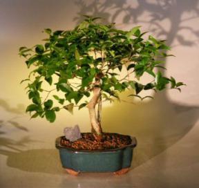 Flowering Surinam Cherry Bonsai Tree <br><i>(eugenia uniflora)</i>
