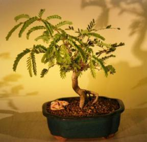 Tamarind Bonsai Tree<br><i>(tamarindus indica)</i>