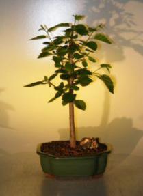 Paper  Birch Bonsai Tree<br><i>(betula papyrifera)</i>