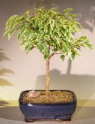 Ficus Breeze Bonsai Tree Large - Variegated<br><i>(ficus benjamina)</i>