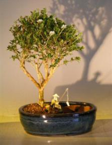 Flowering Mount Fuji  Bonsai Tree<br><i></i>Water/Land Container - Medium<br><i>(serissa foetida)</i>