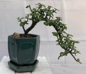 Baby Jade  Bonsai Tree - Cascade Style <br><i>(Portulacaria Afra)</i>