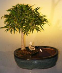Willow Leaf Ficus Bonsai Tree<br><i></i>Water/Land Container -  Medium<br><i>(Ficus Nerifolia/Salisafolia)</i>