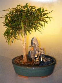 Willow Leaf Ficus Bonsai Tree<br>Stone Landscape Scene<br><i>(Ficus Nerifolia/Salisafolia)</i>