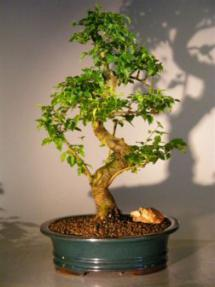 Flowering Ligustrum Bonsai Tree - Extra Large <br><i>(ligustrum lucidum)</i>