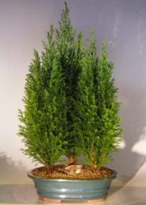 Italian Cypress Evergreen Bonsai Tree Three Tree Forest Group  - Large<br><i>(cupressus sempervirens)</i>