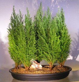 Italian Cypress Evergreen Bonsai Tree Five Tree Forest Group - Large<br><i>(cupressus sempervirens)</i>