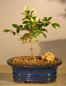 Flowering Lavender Star Flower Bonsai Tree - Small<br><i>(Grewia Occidentalis)</i>