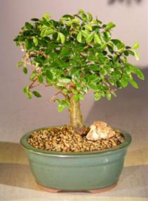 Chinese Elm Bonsai Tree - Aged Straight Trunk Style (ulmus parvifolia)