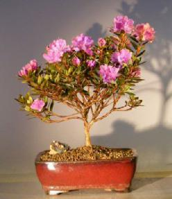 Flowering Purple Rhododendron<br><i>(rhododendron 'checkmate')</i>