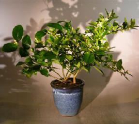 Flowering Cocktail Citrus Bonsai Tree - Lemon & Lime Citrus Trees in One Pot<br><i>('Citrus Meyeri' and 'Citrus Aurantifolia')</i>