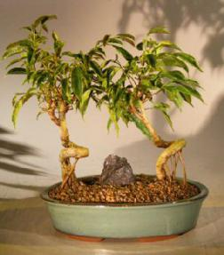 Oriental Ficus Coiled Bonsai Tree - Double Planting - Banyan Style<br><i>(ficus benjamina 'orientalis')</i>