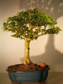 Flowering Parrot's Beak Bonsai Tree - Extra Large<br><i>(gmelina philippensis)</i>