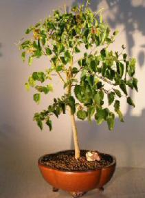Flowering Dwarf Everbearing Mulberry Bonsai Tree <br><i>(Morus Nigra)</i>