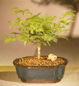 Flowering Princess Earrings Bonsai Tree - Small<br><i>(dichrostachys cinerea)</i>
