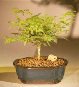 Flowering Princess Earrings Bonsai Tree - Small<br><i>(dichrostachys cinerea)</i>