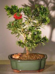 Flowering Bottlebrush - Little John - Medium <br><i>(Callistemon Citrinus