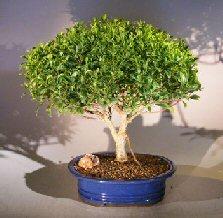Ficus Retusa- Large <br><i>(Melon Seed)</i>