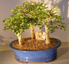 Chinese Elm Bonsai Tree - Aged<br>Three (3) Tree Forest Group Scene<br><i>(ulmus parvifolia)</i>