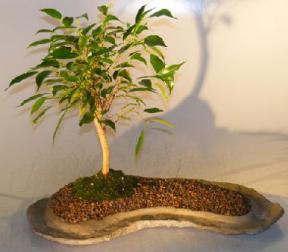 Ficus Oriental Bonsai Tree On Rock Slab <br><i>(ficus 'orientalis')</i>