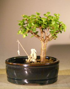 Baby Jade Bonsai Tree<br><i></i>Water/Land Container - Small<br><i>(Portulacaria Afra)</i>