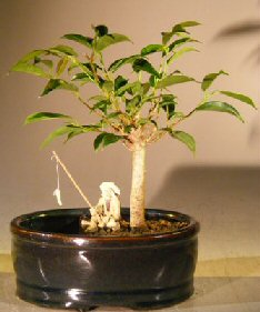Ficus Oriental Bonsai Tree <br>Water/Land Container - Small <br><i>(ficus 'orientalis') </i>